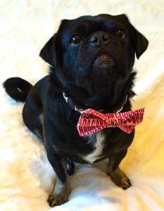 Cute Photo of Kilo the pug in his Canada bow tie