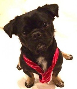 Cute photo of Kilo the Pug in a red striped tie ready for work