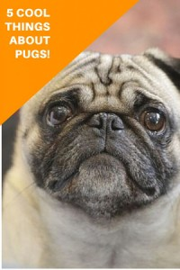 Who-is-Doug-the-Pug--450h
