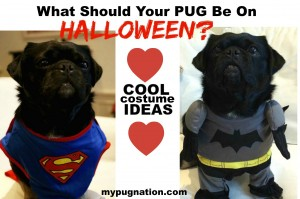 What should your pug be on Halloween? Halloween costume ideas for Pugs