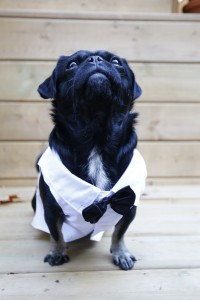 Kilo the Pug Black Tie formal wear like James Bond