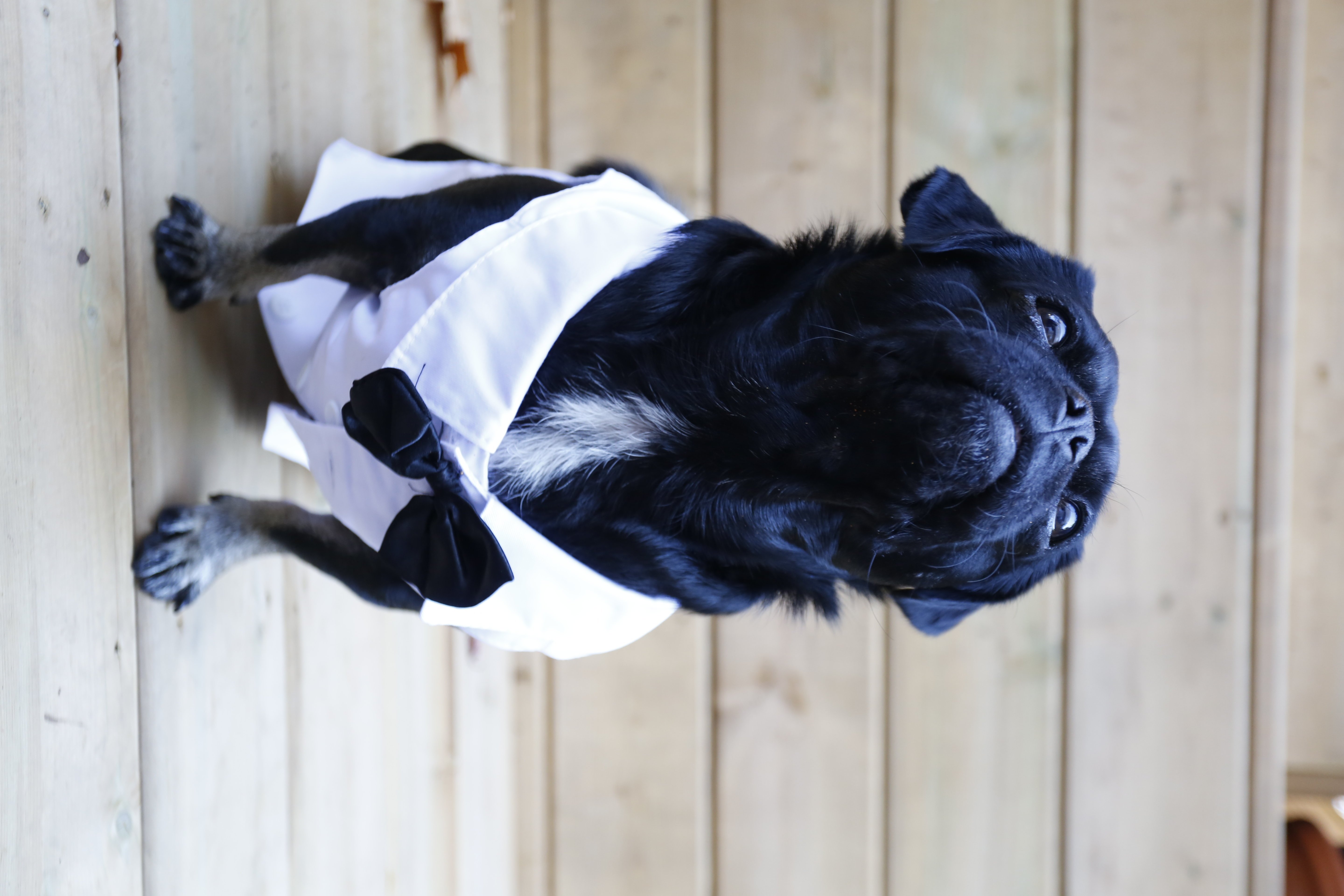 What Should Your Pug Be For Halloween Mypugnation