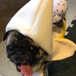 Photos From The Best Halloween Party Just For Pugs -Pugoween 2016 - banana split