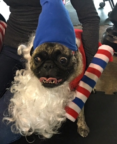 Photos From The Best Halloween Party Just For Pugs -Pugoween 2016 - elf & dogs dressed up Archives - MyPugNation