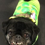 Photos From The Best Halloween Party Just For Pugs -Pugoween 2016 - monster2