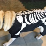 Photos From The Best Halloween Party Just For Pugs -Pugoween 2016 - skeleton