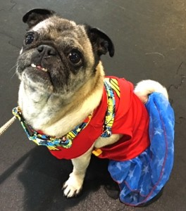 Photos From The Best Halloween Party Just For Pugs -Pugoween 2016 - wonder woman