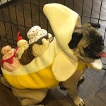 Photos From The Best Halloween Party Just For Pugs - banana split costume