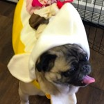 Photos From The Best Halloween Party Just For Pugs - banana split costume 2