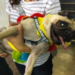 Photos From The Best Halloween Party Just For Pugs - costume