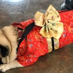 Photos From The Best Halloween Party Just For Pugs -geisha costume