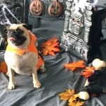 Photos From The Best Halloween Party Just For Pugs - halloween scene at pawsway