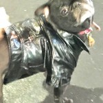 Photos From The Best Halloween Party Just For Pugs - leather costume