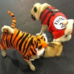 Photos From The Best Halloween Party Just For Pugs - tiger and thing 2 costume