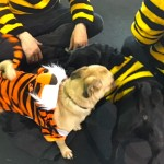 Photos From The Best Halloween Party Just For Pugs - tiger pug costume