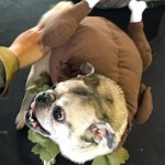 Photos From The Best Halloween Party Just For Pugs - turkey costume