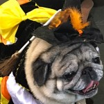 Photos From The Best Halloween Party Just For Pugs -witch costume