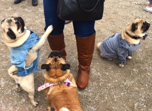 Helmut (@helmutthepug), Lily Bean (@lilybeanthepug) & Pixel (@pixelpugandajah) 2 at the Novemeber 2016 Toronto Pug Grumble 2