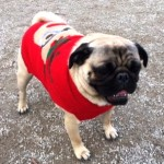 Romeo the pug at the Novemeber 2016 Toronto Pug Grumble