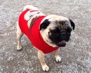Romeo the pug at the Novemeber 2016 Toronto Pug Grumble