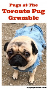 We saw our pal Helmut the Pug and many more pugs at Novembers Toronto Pug Grumble, see more photos.