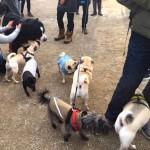 dogs and pugs at the Novemeber 2016 Toronto Pug Grumble
