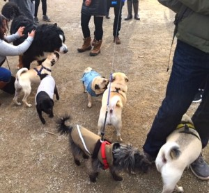 dogs and pugs at the Novemeber 2016 Toronto Pug Grumble