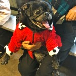 Black Pug at the Pugalug Pug Claus Christmas Party