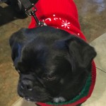 Kilo the Pug at the Pugalug Pug Claus Christmas Party