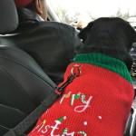 Kilo the Pug on the way to the Pugalug Pug Claus Christmas Party