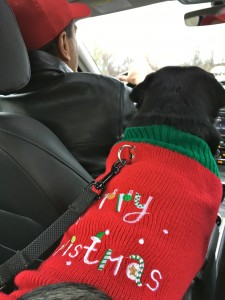Kilo the Pug on the way to the Pugalug Pug Claus Christmas Party