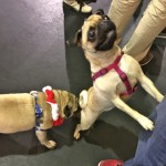 Pugs at the Pugalug Pug Claus Christmas Party