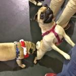 Pugs at the Pugalug Pug Claus Christmas Party