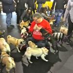Pugs love treats at the Pugalug Pug Claus Christmas Party