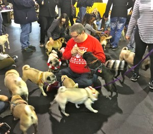 Pugs love treats at the Pugalug Pug Claus Christmas Party