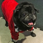 Smiling black pug at the Pugalug Pug Claus Christmas Party