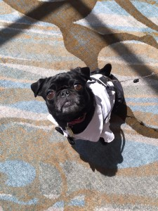 bodo the pug looking sharp at woofstock high tea - Edited