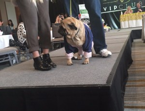 cute pug strutting his stuff at woofstock high tea - Edited