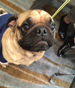cute pugs at woofstock high tea
