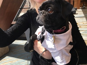 one of the cute pugs at woofstock high tea