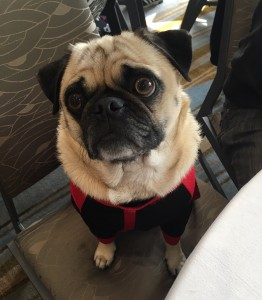 tyson the pug at woofstock high tea